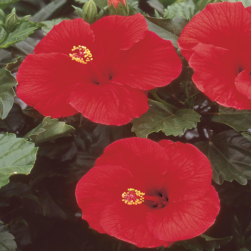 Costa Farms 2.5 Qt. Hibiscus Shrub with Red Flowers-2 ...