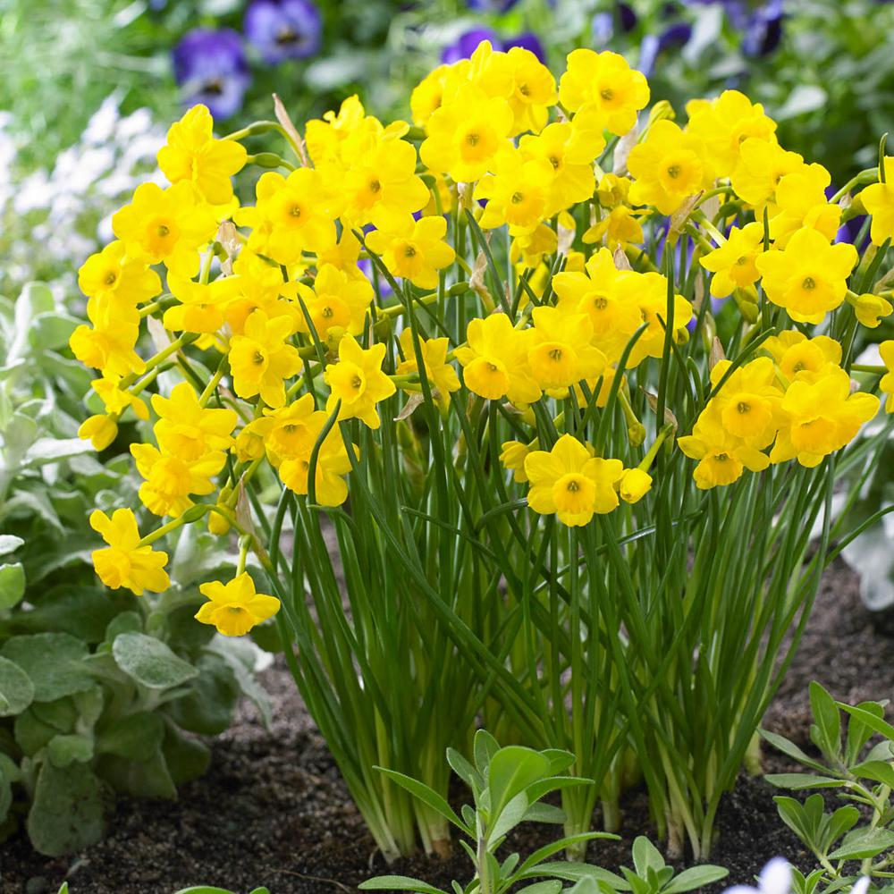 Spring Hill Nurseries More And More Daffodil Narcissus Bulbs 10