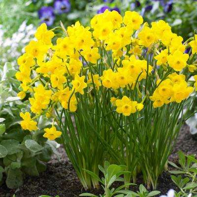 More And Daffodil Narcissus Bulbs 10 Pack
