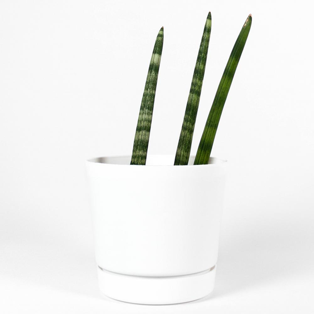 Tropicalplants Com African Spear Snake Plant Sansevieria Cylindrica Live Plant In 6 In Contemporary White Planter With Built In Saucer Anfsanafrwsa6 The Home Depot