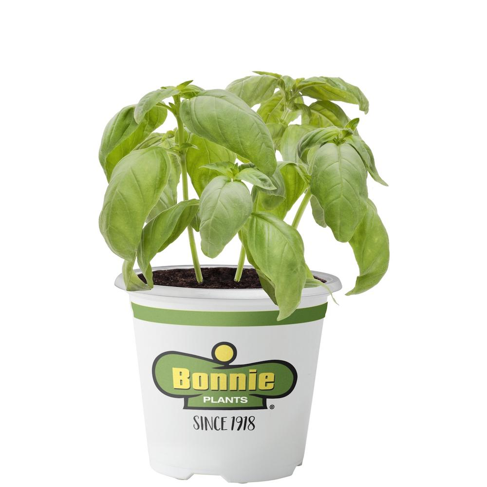 Bonnie Plants 4.5 in. Sweet Basil Italian-style basil with large leaves and strong anise flavor. Pinch often to promote bushiness and remove flowers. Grow in fertile, well-drained soil. This is the classic pesto basil. Good choice for containers.