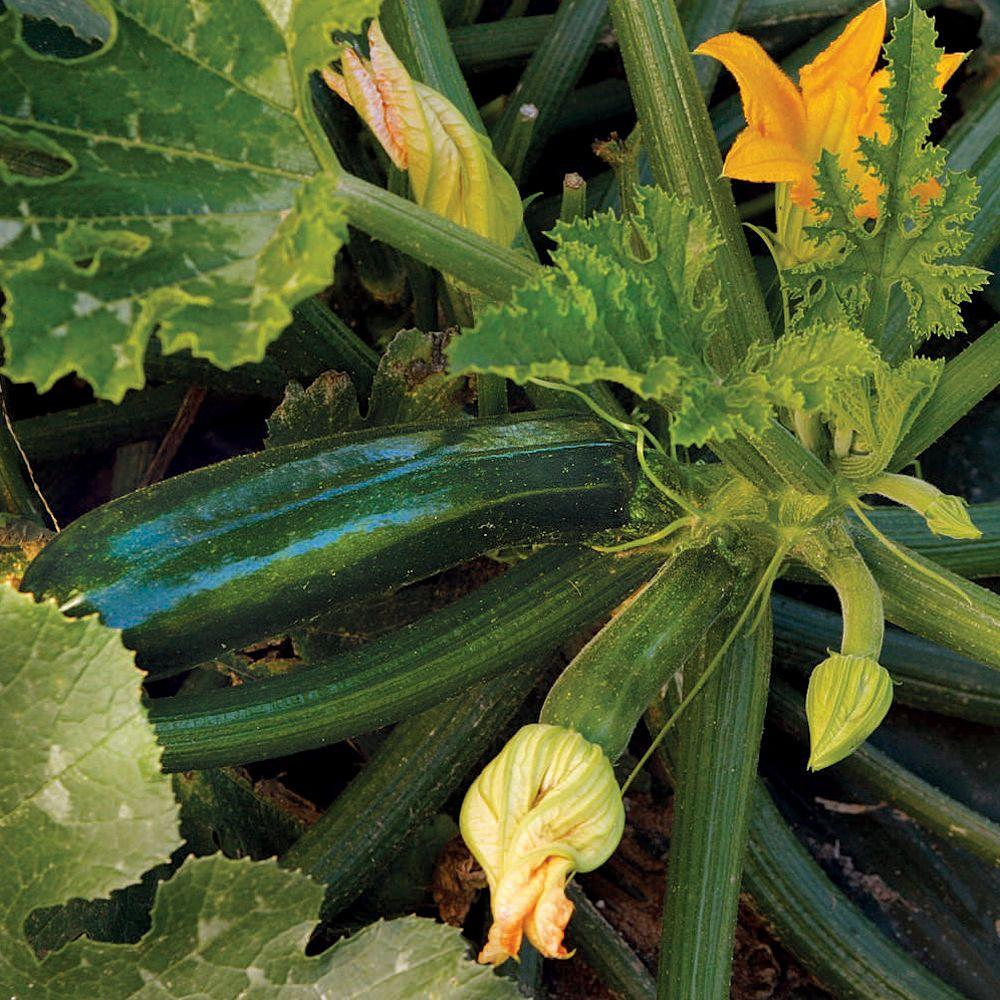Squash, Dark Star Zucchini Seeds Pack