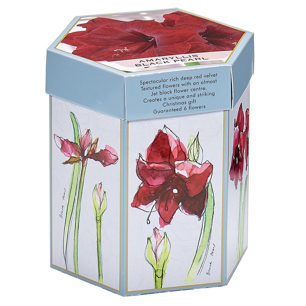 Amaryllis Black Pearl Mammoth Bulb Hostess Gift Kit