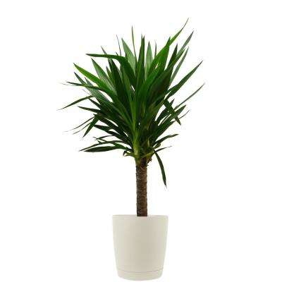 Yucca Cane in 8.75 in. Cream Decor Pot