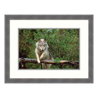 """Timber Wolf leaping over fallen log, Montana"" by Tim Fitzharris Framed Wall Art"