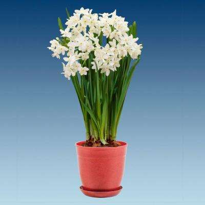 White fall to winter flower bulbs garden plants flowers paperwhites ziva with red pot mightylinksfo