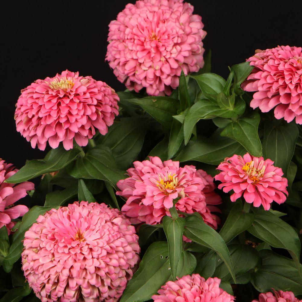 Proven Winners Sweet Tooth Bubblegum Zinnia Live Plant Light Pink