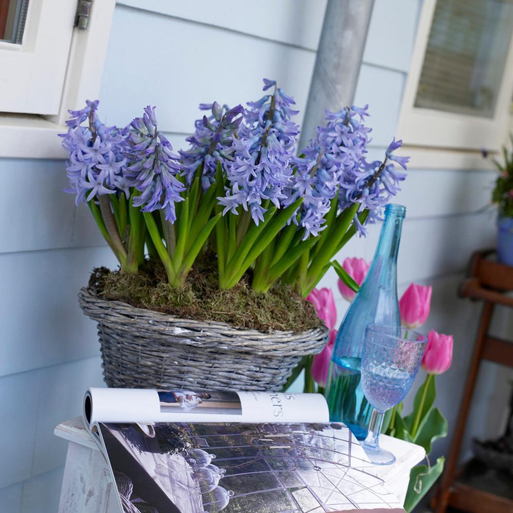 Hyacinths Bulbs Fragrant Baby Blue (Set of 10)