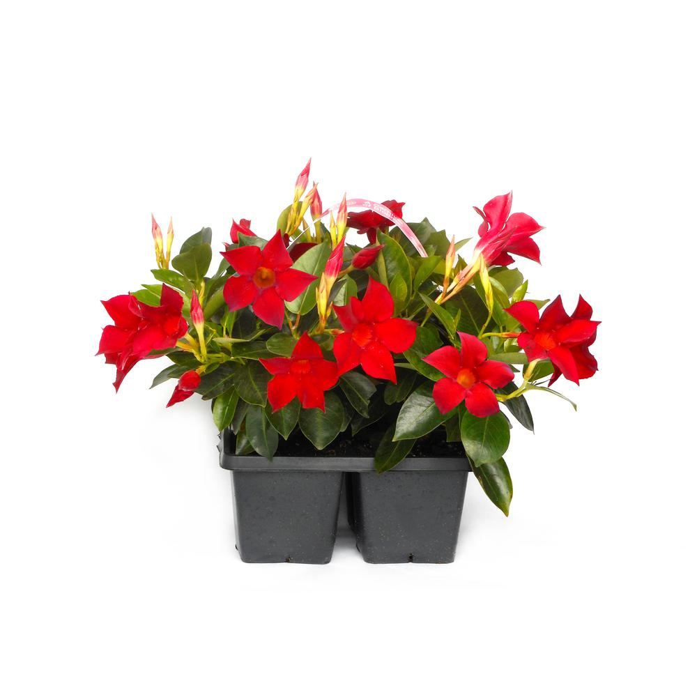 Dipladenia Flowering Annual Shrub With Red And Pink Blooms 4 Pack