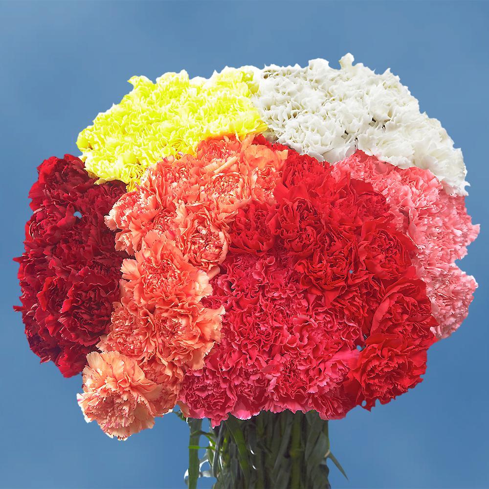 Fresh Valentine's Day Carnations (200 Stems)