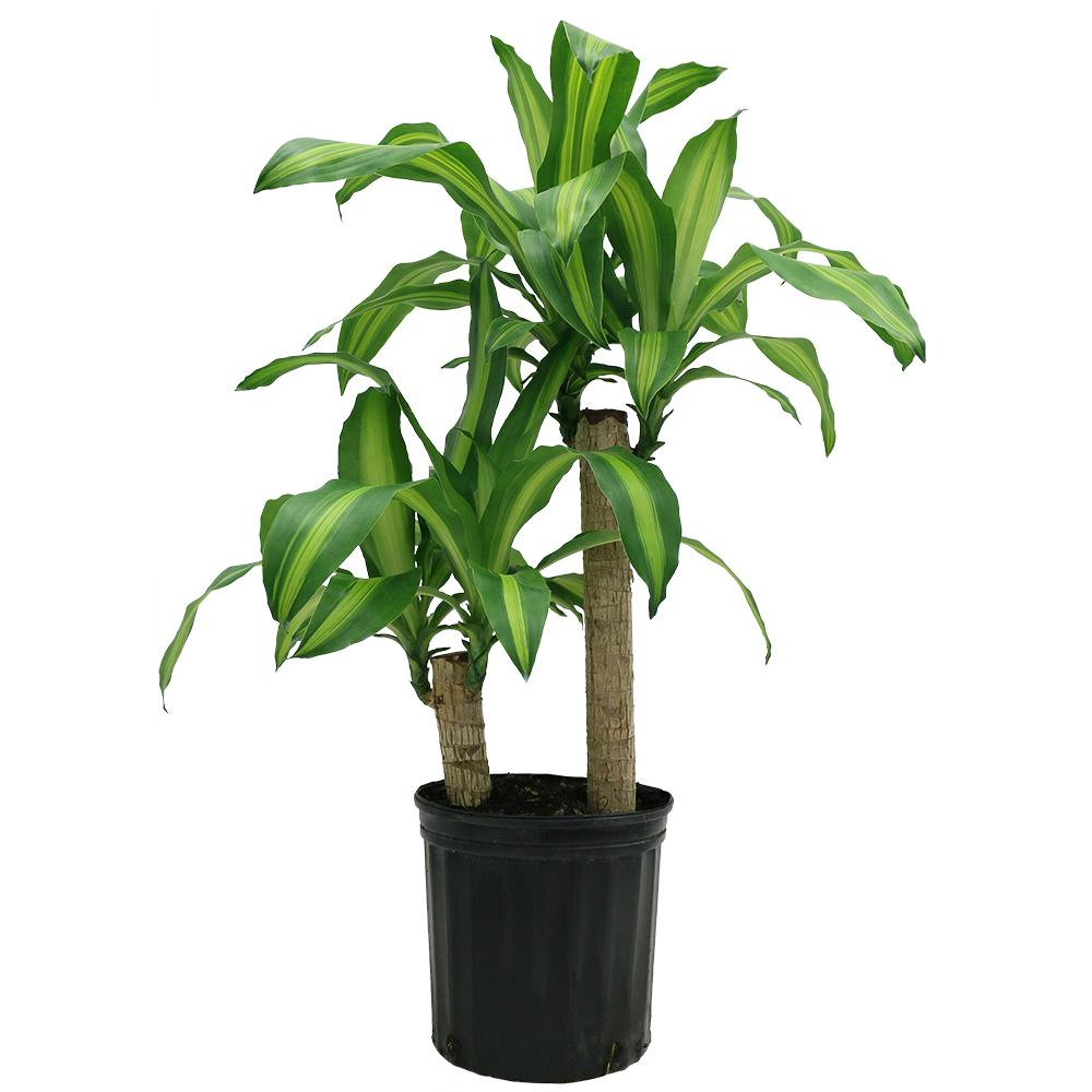 Costa Farms Mass Cane in 8.75 in. Grower Pot