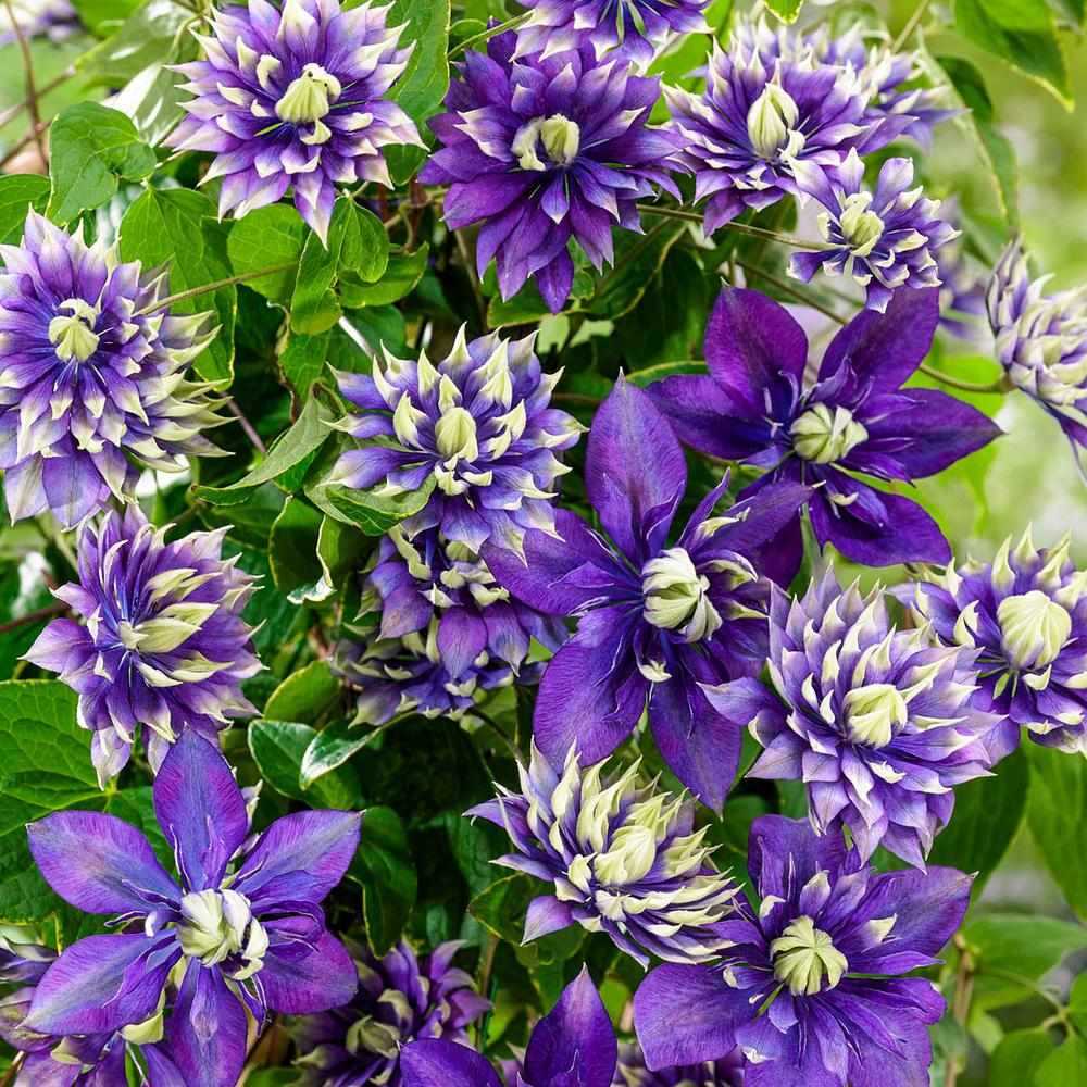Spring Hill Nurseries 3 in. Pot Taiga Clematis Vine Live Potted Perennial Plant with Purple and White Flowers (1-Pack)