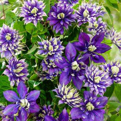 Pot Taiga Clematis Vine Live Potted Perennial Plant With Purple And White Flowers
