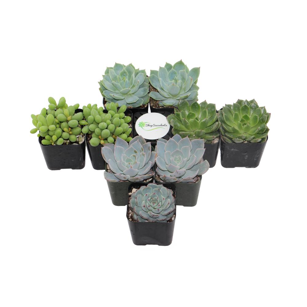 2 in. Blue/Green Collection Succulent (Collection of 9)