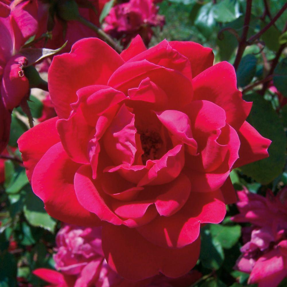 Knock Out Rose 3 Gal. Red Double Knock Out Rose - Live Blooming Shrub