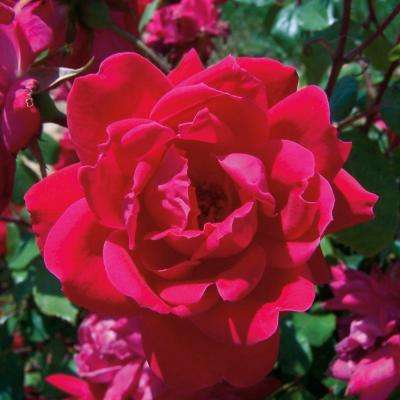 3 Gal. Red Double Knock Out Rose - Live Blooming Shrub