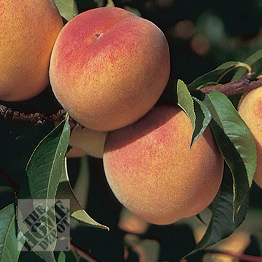 null Ranger Peach