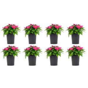 1 Qt. SunPatiens Pink Impatien Outdoor Annual Plant with Pink Flowers in 4.7 In. Grower's Pot (8-Plants)