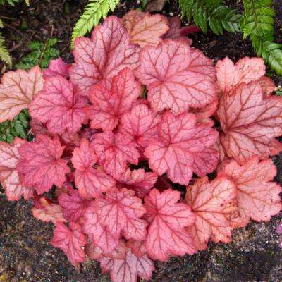 Georgia Peach Coral Bell (Heuchera) Live Bareroot Perennial with Peach Colored Foliage (3-Pack)
