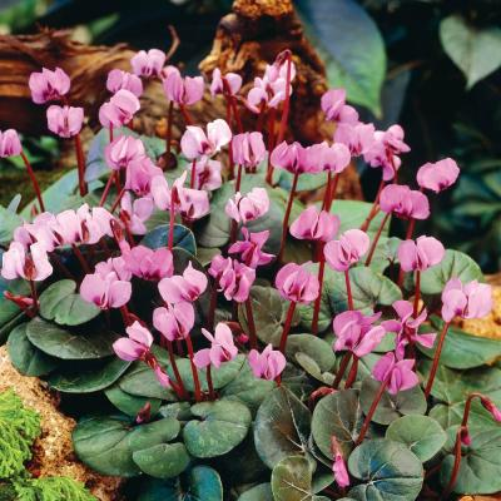 Cyclamen Hardy Fall Blooming Bulbs (3-Pack)