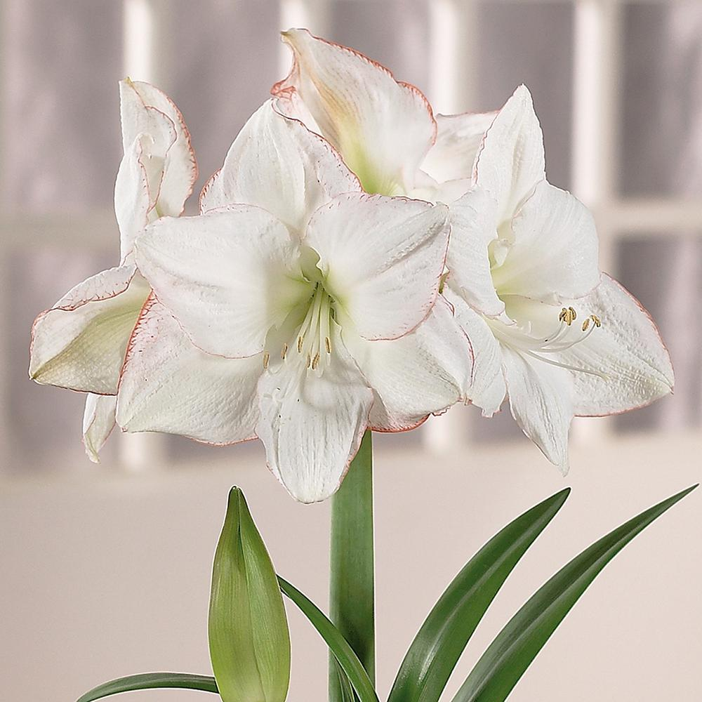 Indoor Grow Lights Home Depot: Van Zyverden Amaryllis Bulbs Picotee (Set Of 1 Bulb)-21412