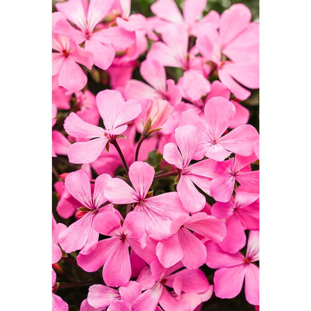 Timeless Pink Geranium (Pelargonium) Live Plant, Pink Flowers, 4.25 in. Grande