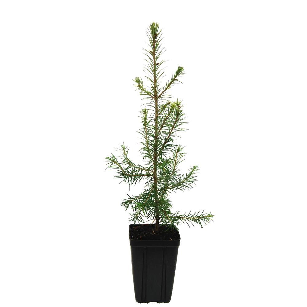 Douglasfir Potted Evergreen Tree