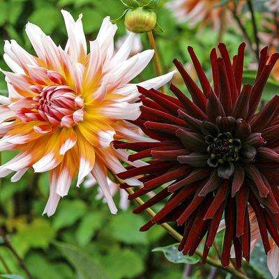 Dahlia High Contrast Duo Bulbs (5-Pack)