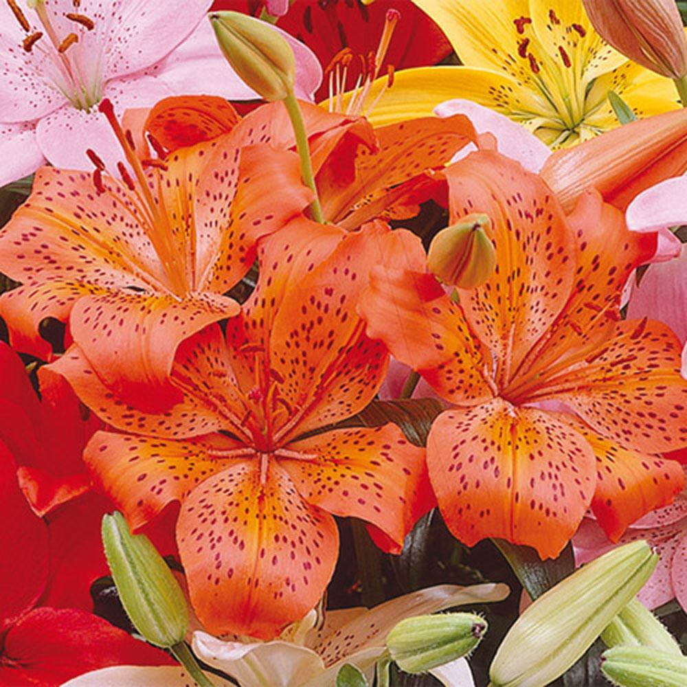 Van Bourgondien Asiatic Lily Orange County Bulbs 25 Pack 01268