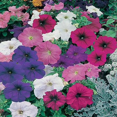 10 in. Mixed Petunia Plant (12-Pack)