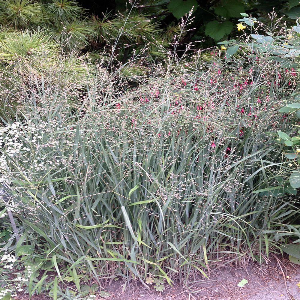 2 gal. Little Bluestem Grass