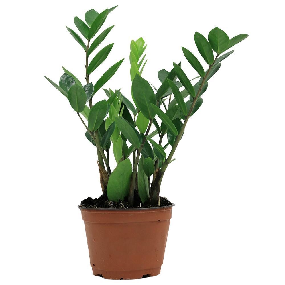 Zz Plant In 6 Grower Pot