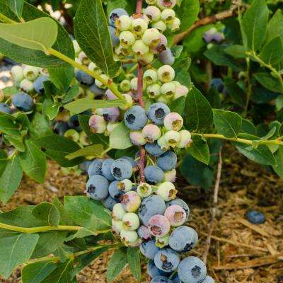 1  Gal. Elliot Blueberry (Vaccinium), Live Fruiting Plant, White Flowers with Green Foliage (1-Pack)