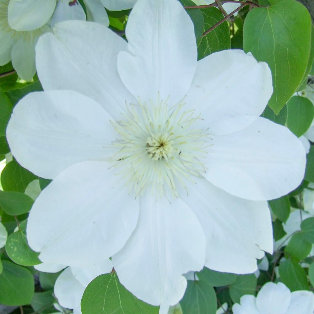 Guernsey Cream Clematis, Live Bareroot Plant, White Flowering Perennial Vine (1-Pack)