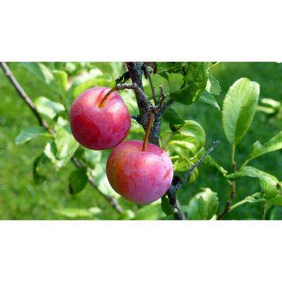 Dwarf Santa Rosa Plum Tree Bare Root