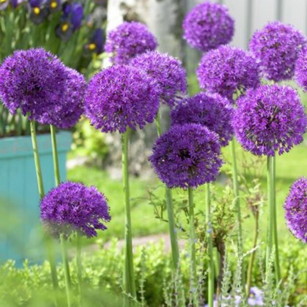 Purple Perennial Flower Bulbs Garden Plants Flowers The