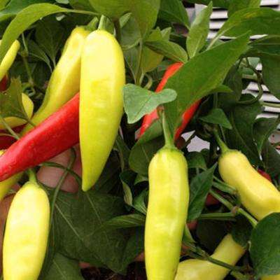 Sweet Hungarian Wax Pepper, Live Plant, Vegetable, 4.25 in. Grande