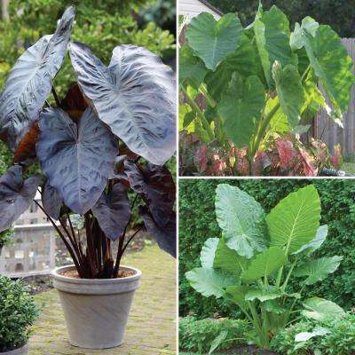 Elephant Ear Collection Bulbs (5-Pack)