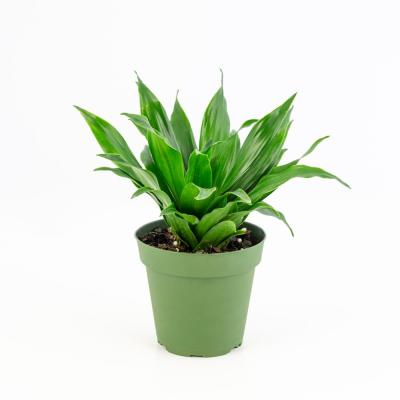 4 in. Janet Craig Compacta Dracaena Plant in Black pot (4-Piece)