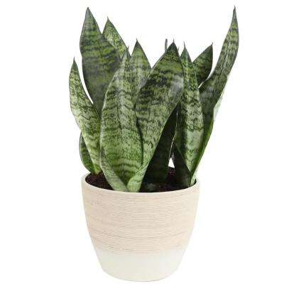 6 in. Sansevieria Plant Grower's Choice (Image of Zeylenica) in Scheurich Ceramic