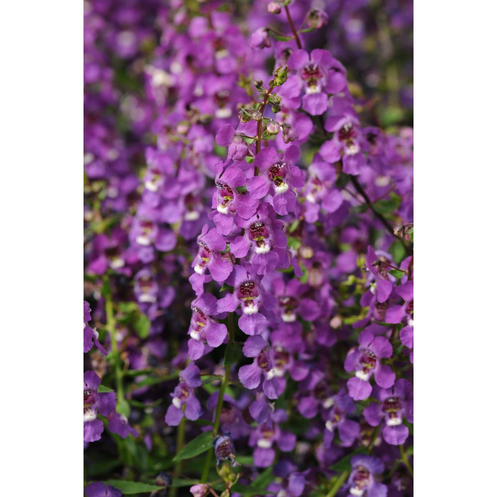 Costa Farms 1 Qt. Purple Angelonia Flowers in Grower Pot (8-Pack)