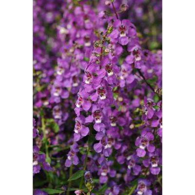 1 Qt. Purple Angelonia Plant in Grower Pot (8-Pack)