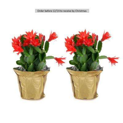 4 in. Fresh Christmas Cactus Grower's Choice (Live 2-Pack)