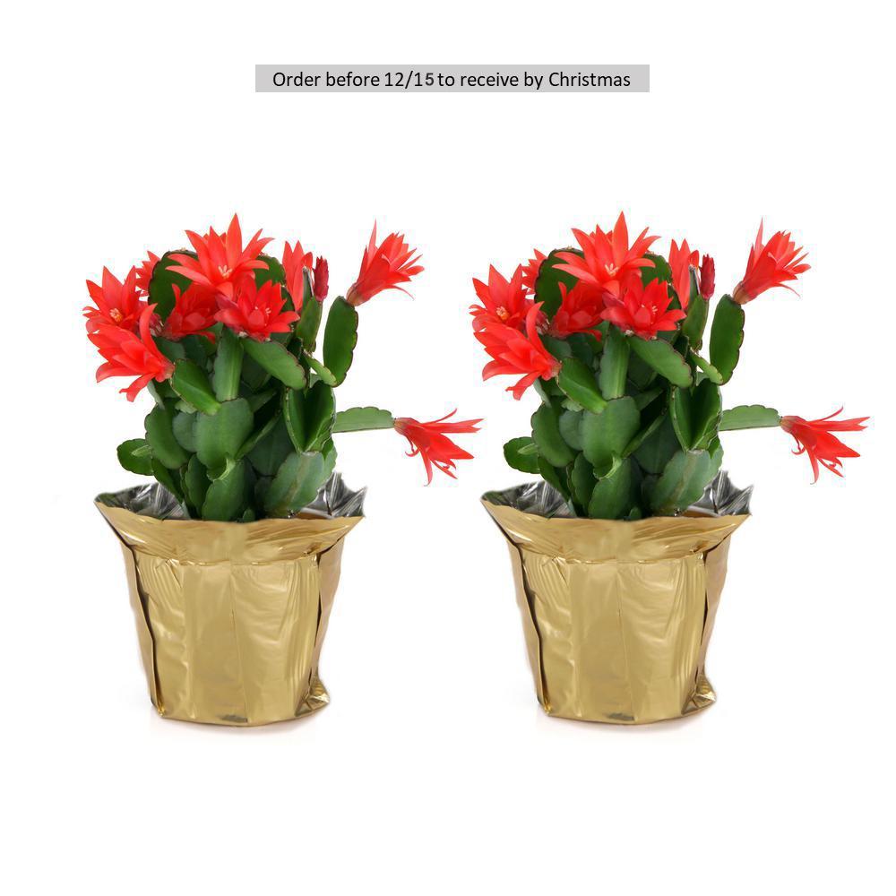 Fresh Christmas Cactus Grower's Choice (Live 2-Pack)