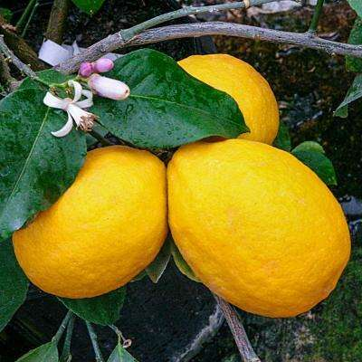 4 in  Pot Meyer Dwarf Lemon Citrus, Live Potted Tropical Plant, White  Flowers to Yellow Fruit (1-Pack)