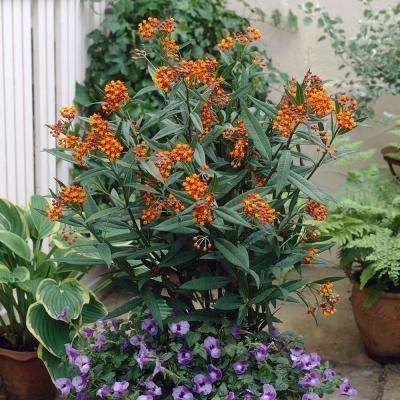 Support The Monarchs Asclepias Gay Butterfly Mixture Roots (3-Pack)