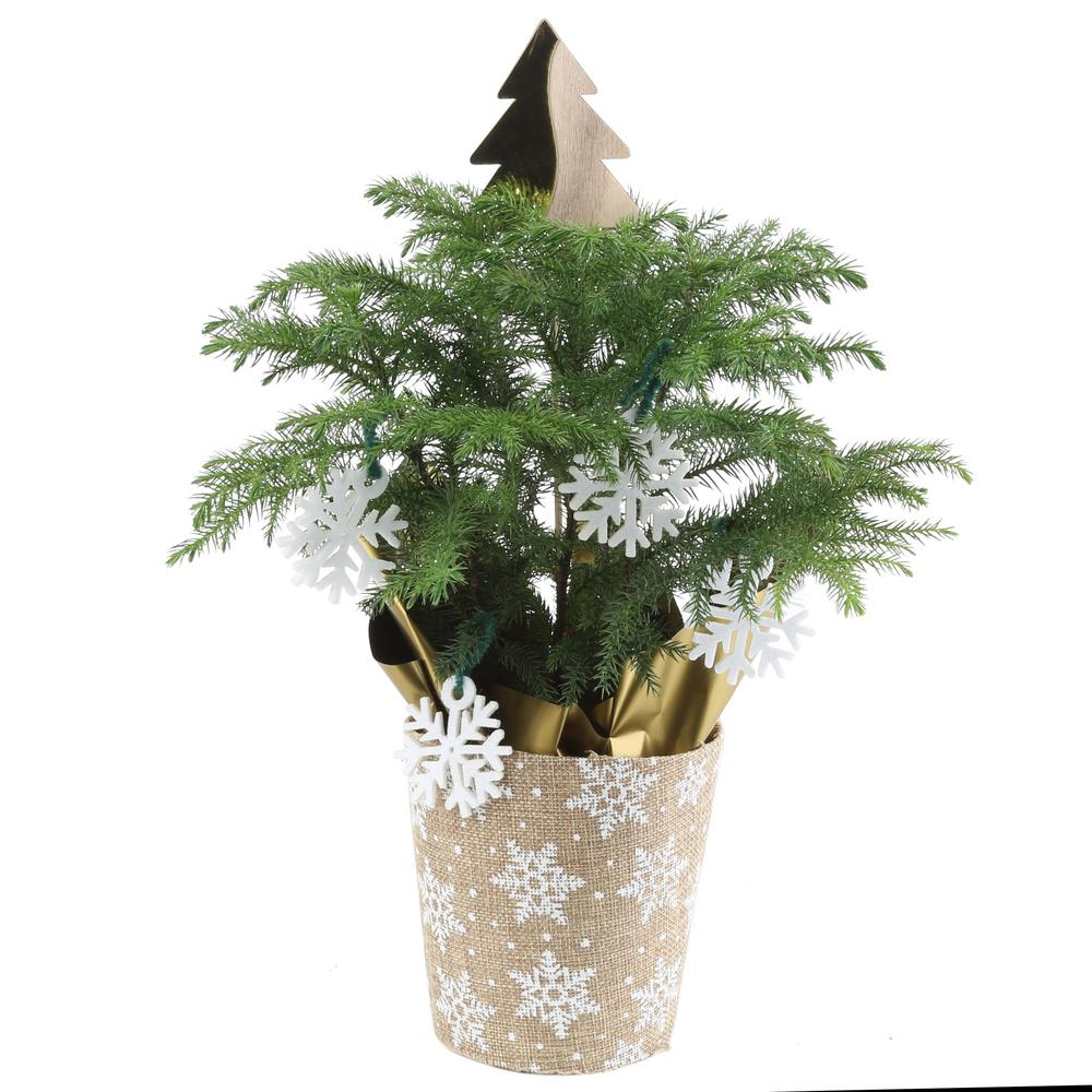 Christmas Trees Norfolk: Norfolk Island Pine Burlap Pot 4 In. Needled Branches