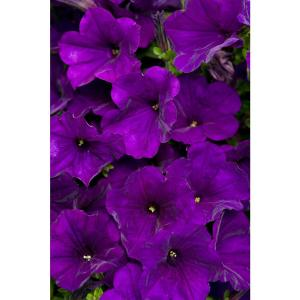 Supertunia Royal Velvet (Petunia) Live Plant, Purple Flowers, 4.25 in. Grande
