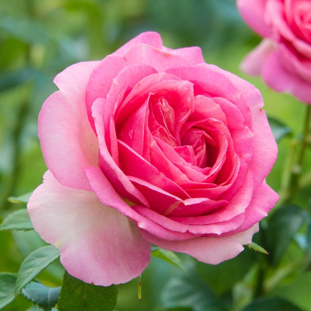 Spring Hill Nurseries All Dressed Up Grandiflora Rose Live