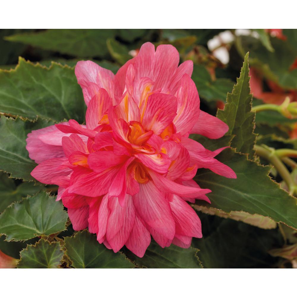 4-Pack, 4.25 in. Grande Funky Pink (Begonia)Live Plant, Pink Flowers